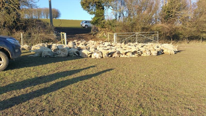 West Dean sheep deaths_33190