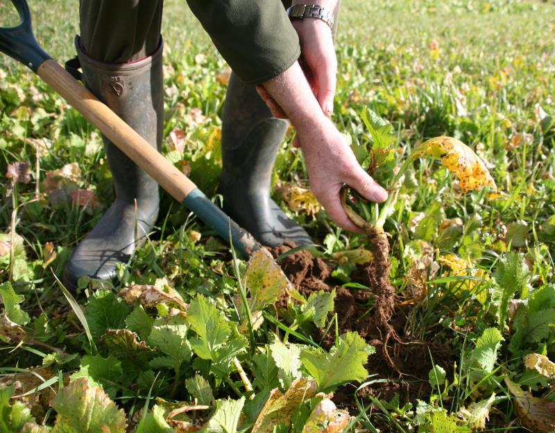 Brassica fodder crops
