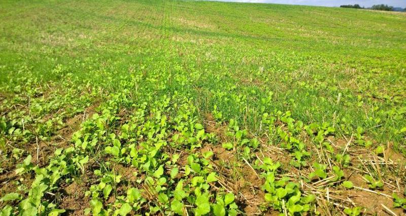 Cover crops - oil radish_24625