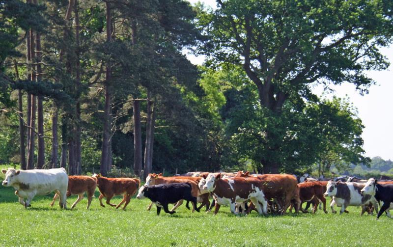 New Forest cattle running_22041