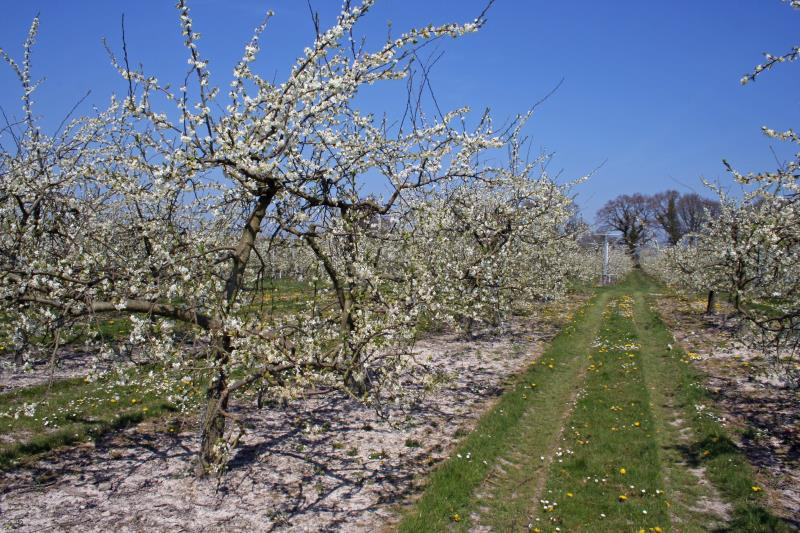 Traditional plum orchard during April_12046