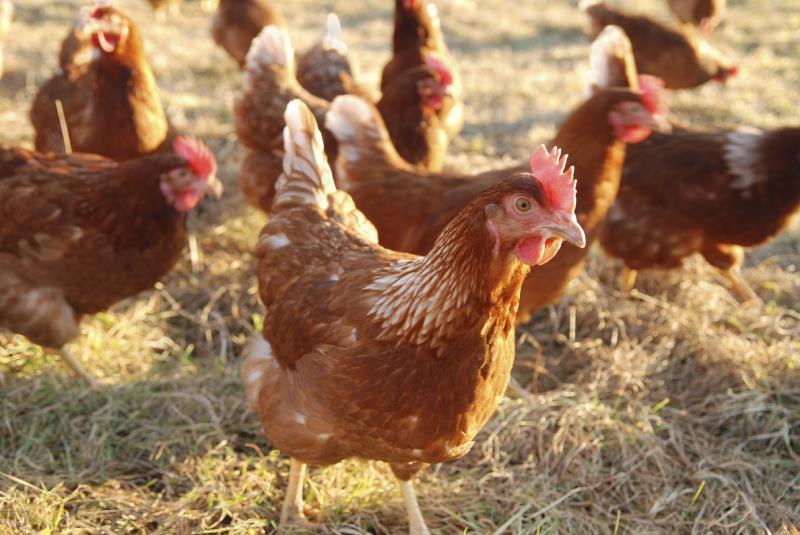 Free range hens_11847