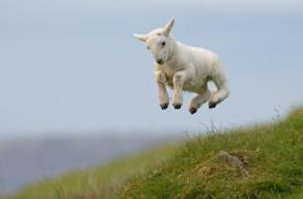 Lamb leaping_16693