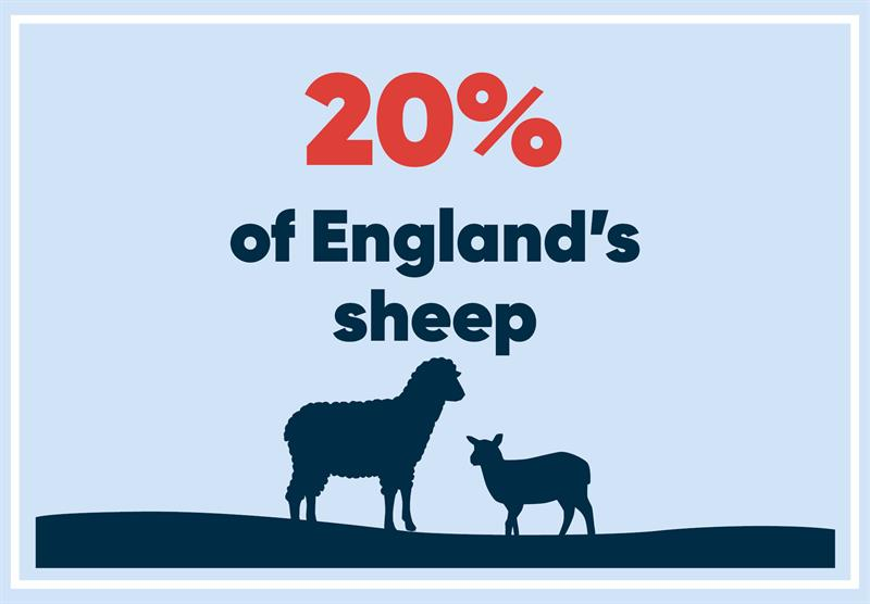 North West infographics sheep_70785