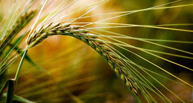Green barley_7882