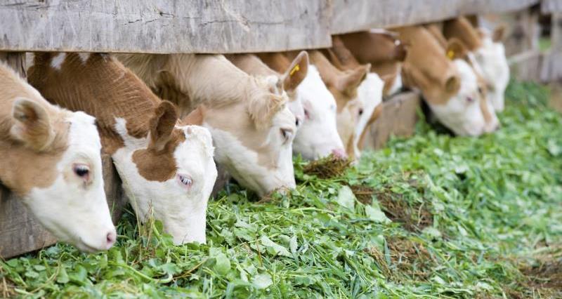 Calves eating fodder_12294