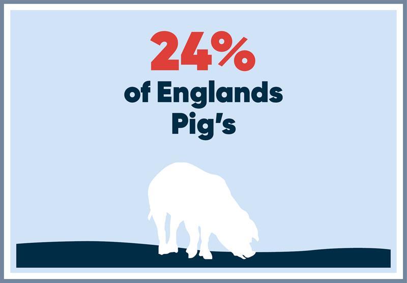 East Anglia infographics pigs_70757