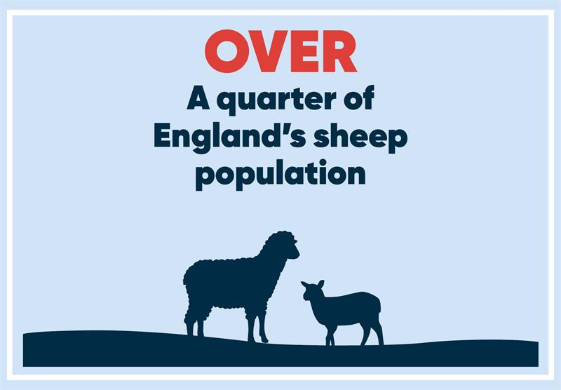 North East infographics sheep_70780