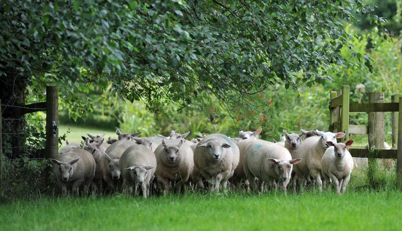 Sheep_7918