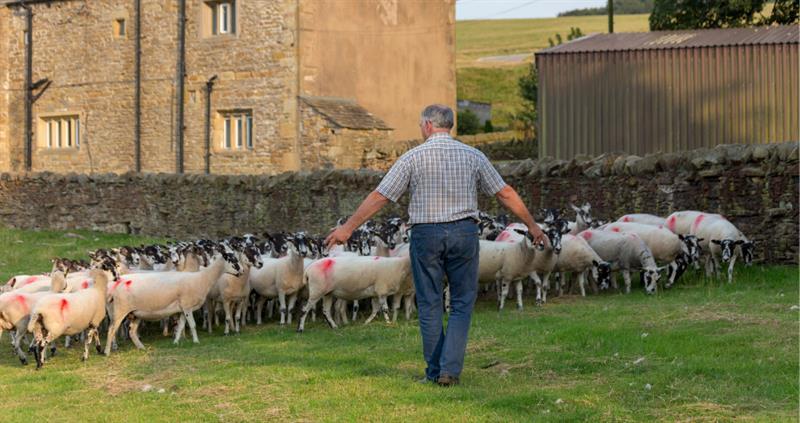 Thomas Binns herds sheep at his uplands farm_59356