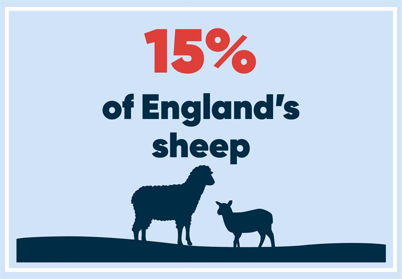 West Midlands infographics sheep_70775