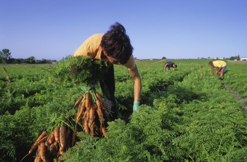 Worker harvesting carrots_12348