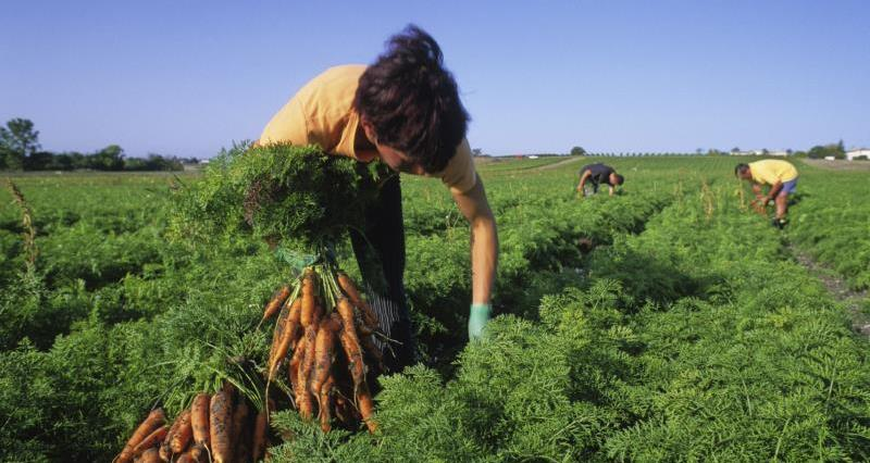 Worker harvesting carrots_12348