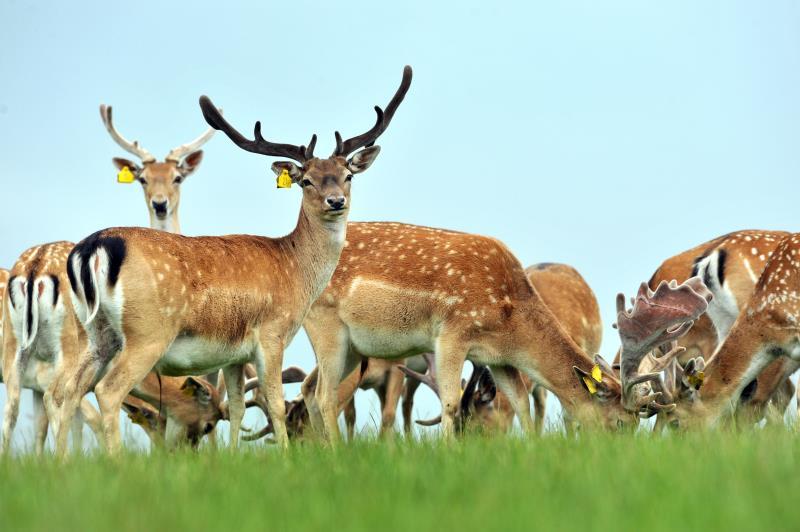 Denham Estate Deer_12964