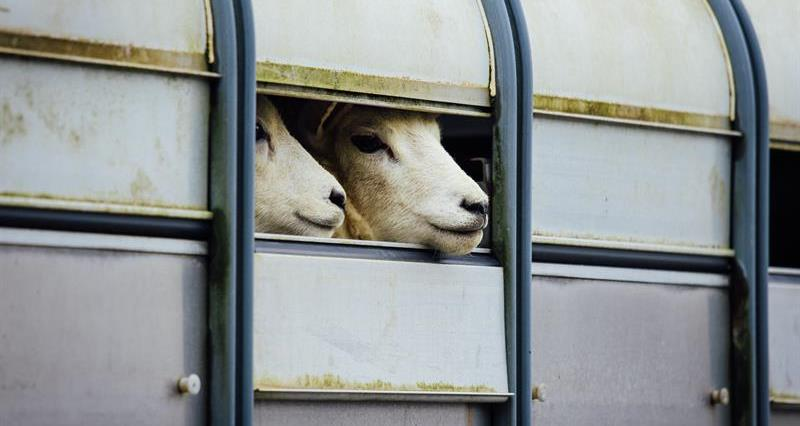 Llanybydder sheep in trailer_68521