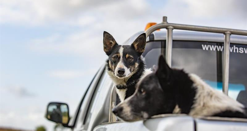 Dog in car_68372