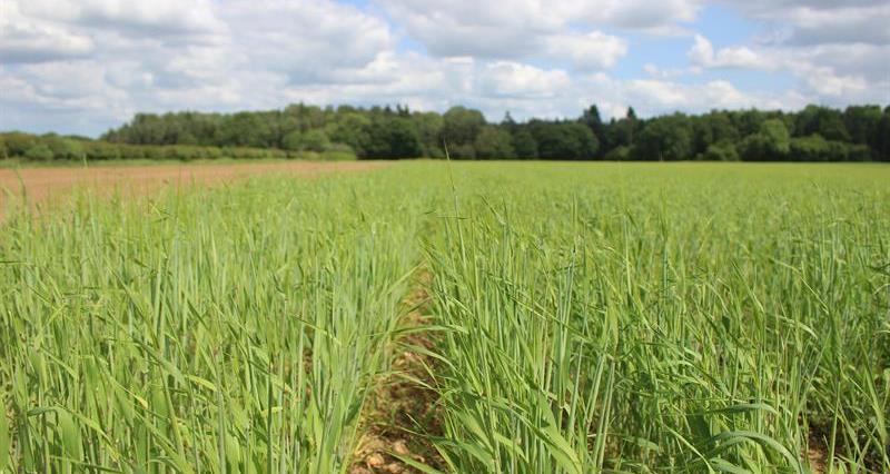 Spring Barley_68719