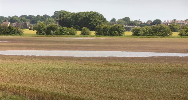 Wainfleet wheat crop flood_68693