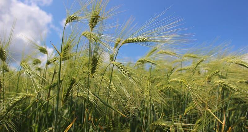 Barley field_68713