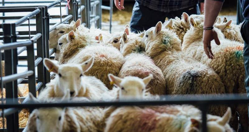 Third man pleads guilty to illegal sheep butchery