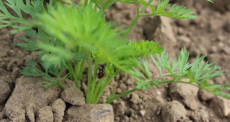 Organic carrots in soil_68715