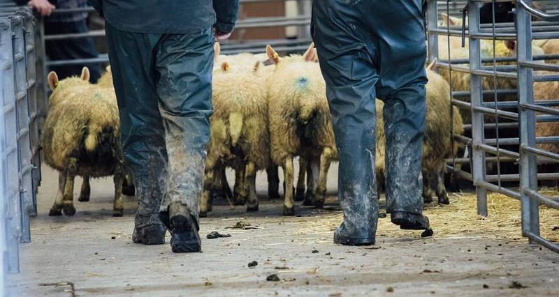 NFU Cymru reminds farmers to follow government guidelines at livestock marts