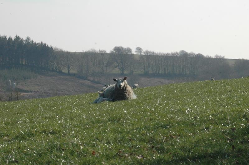 Sheep on Exmoor_12540