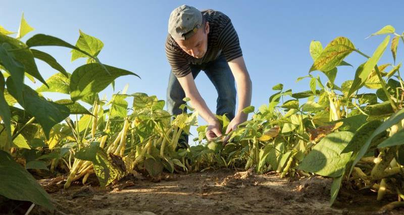 Worker harvesting beans_7859