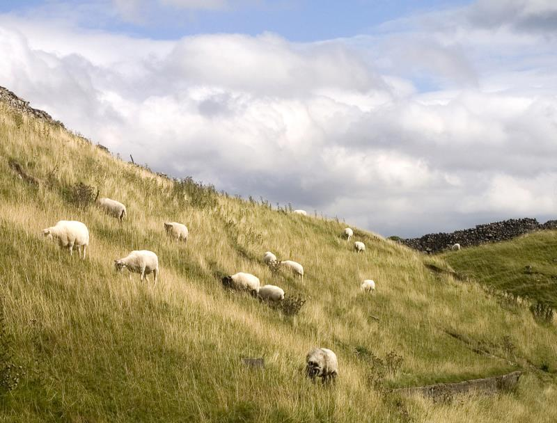 Sheep grazing, Yorkshire Dales_16128