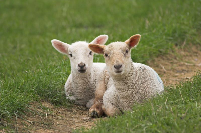 lambs_3643