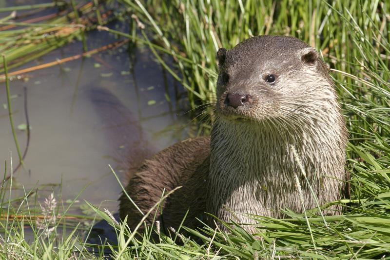 Otter - Darin Smith_7228