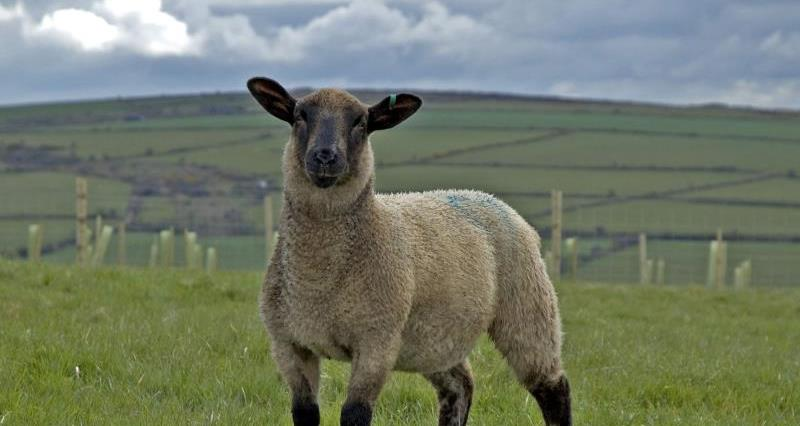 Sheep in field_3576