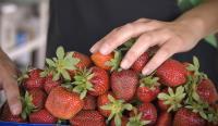 Strawberries_13261