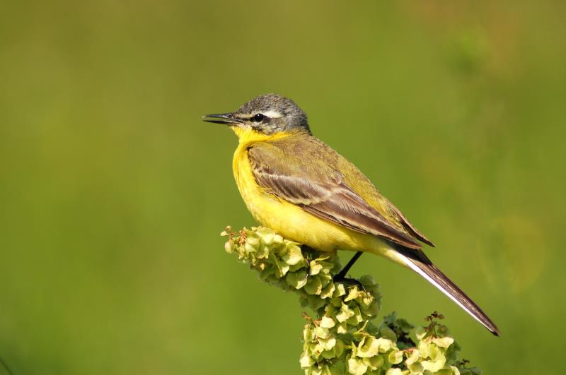 Yellow wagtail_3443