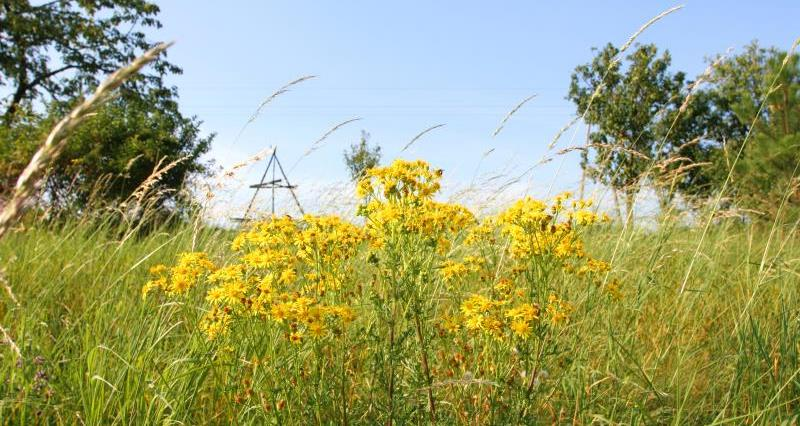 Ragwort: Advice on control and disposal