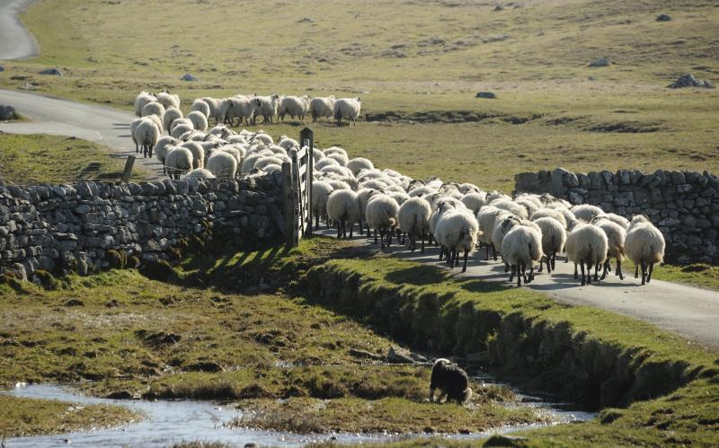 herd of sheep_16992