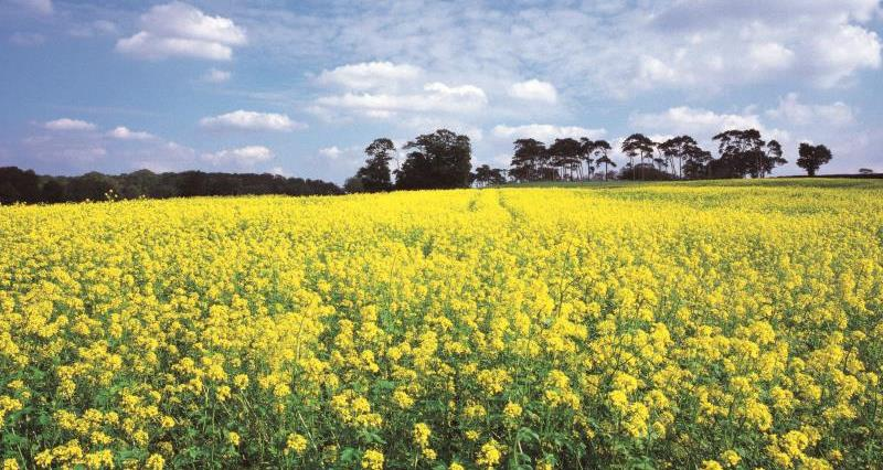 Oilseed rape_7740