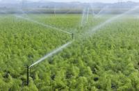 irrigating fennel plants_7852
