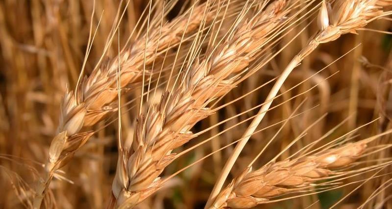 Close up wheat_7588