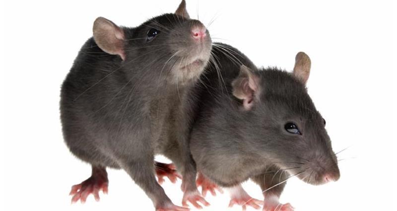 Rats_3797