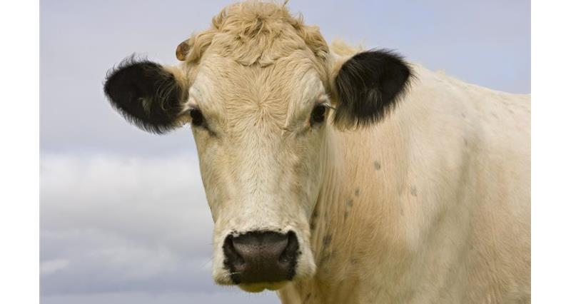 British White cattle_10564