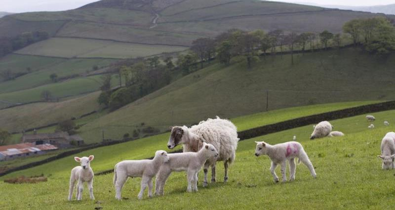 Sheep and lambs_3658