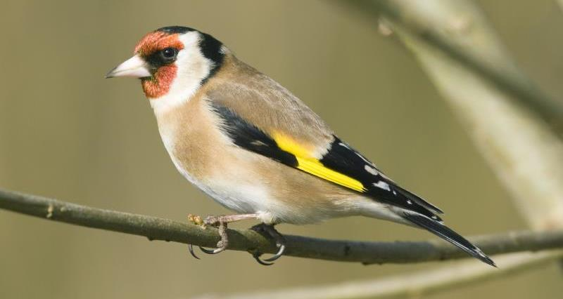 Goldfinch_16053