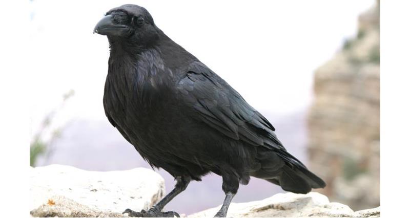 Crow_3463