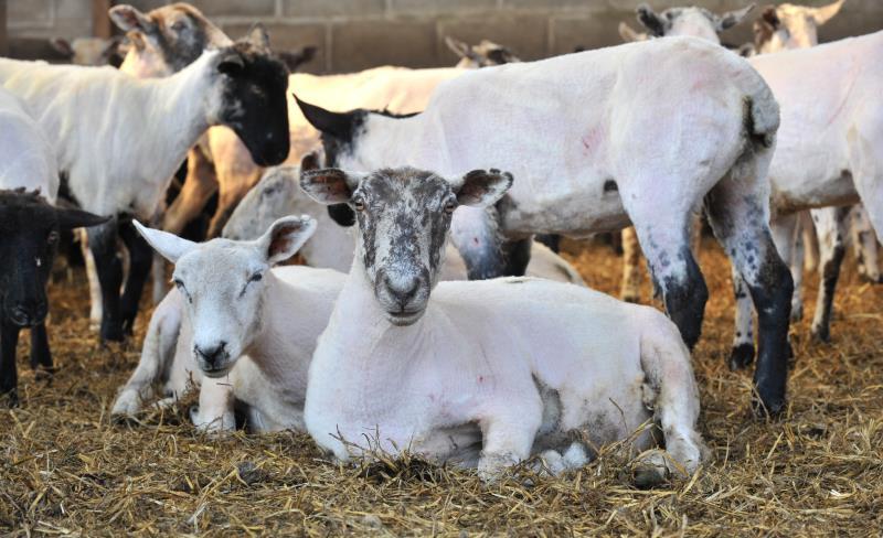 Sheep shearing course_17454
