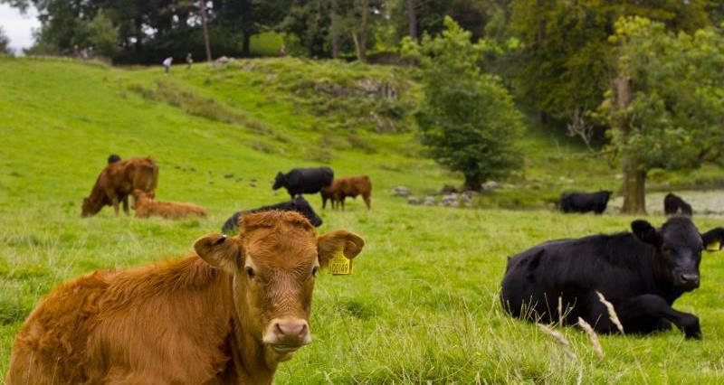 Beef Cows Livestock_18058