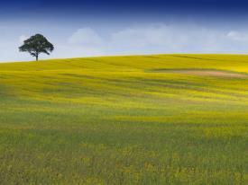 Oilseed rape field_7571