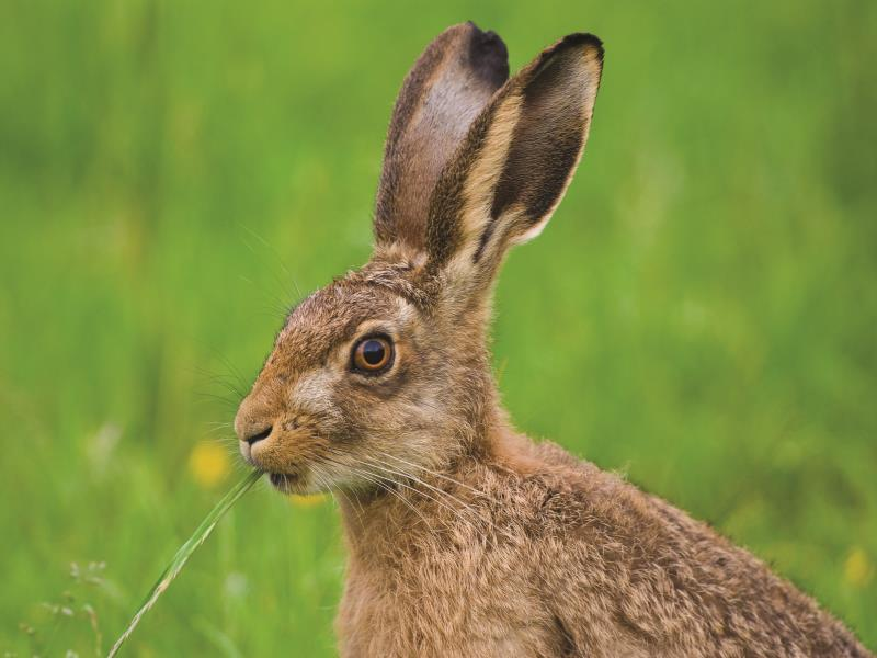 brown hare_13041