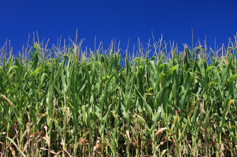 maize field_7791