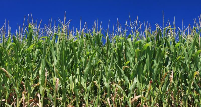 Manage maize to avoid soil erosion